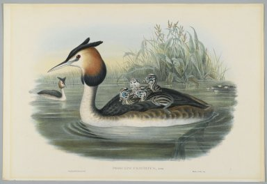 Brooklyn Museum: Podiceps Cristatus