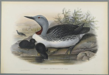 John Gould (British, 1804-1881). Colymbus Septentrionalis: Red Throated Diver. Lithograph on wove paper, Sheet: 21 1/4 x 14 1/2 in. (54 x 36.8 cm). Brooklyn Museum, Gift of the Estate of Emily Winthrop Miles, 64.98.145