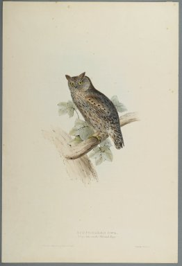 John Gould (British, 1804-1881). Scops Aldrovandi - Scops Eared Owl. Lithograph on wove paper, Sheet: 21 3/16 x 14 1/2 in. (53.8 x 36.8 cm). Brooklyn Museum, Gift of the Estate of Emily Winthrop Miles, 64.98.150