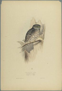 John Gould (British, 1804-1881). Strix Pafsernia - Noctua. Lithograph on wove paper, Sheet: 21 3/16 x 14 1/2 in. (53.8 x 36.8 cm). Brooklyn Museum, Gift of the Estate of Emily Winthrop Miles, 64.98.151