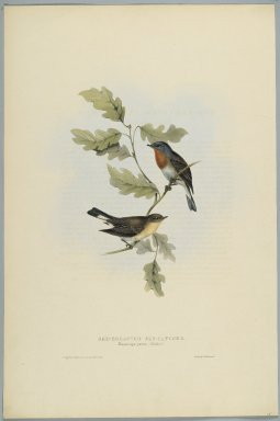 John Gould (British, 1804-1881). Muscicapa Parva - Red-Breasted Fly Catcher. Lithograph on wove paper, Sheet: 21 3/16 x 14 1/2 in. (53.8 x 36.8 cm). Brooklyn Museum, Gift of the Estate of Emily Winthrop Miles, 64.98.152