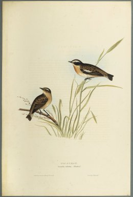 John Gould (British, 1804-1881). Saxicola Rubetra - Whinchat. Lithograph on wove paper, Sheet: 21 3/16 x 14 1/2 in. (53.8 x 36.8 cm). Brooklyn Museum, Gift of the Estate of Emily Winthrop Miles, 64.98.153