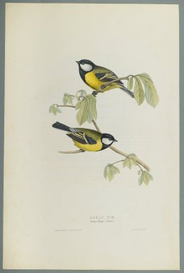 John Gould (British, 1804-1881). Parus Major: Great Tit. Lithograph on wove paper, Sheet: 21 3/16 x 14 1/2 in. (53.8 x 36.8 cm). Brooklyn Museum, Gift of the Estate of Emily Winthrop Miles, 64.98.155