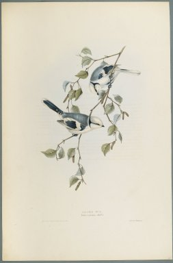 John Gould (British, 1804-1881). Parus Cyanus: Azure Tit. Lithograph on wove paper, Sheet: 21 3/16 x 14 1/2 in. (53.8 x 36.8 cm). Brooklyn Museum, Gift of the Estate of Emily Winthrop Miles, 64.98.156