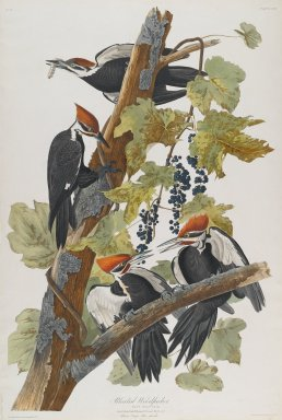 John J. Audubon (American, 1785-1851). Pileated Woodpecker, 1827-1838. Black-ink etching, aquatint and engraving toned by hand with opaque and transparent watercolors, Sheet: 38 1/2 x 26 in. (97.8 x 66 cm). Brooklyn Museum, Gift of the Estate of Emily Winthrop Miles, 64.98.15