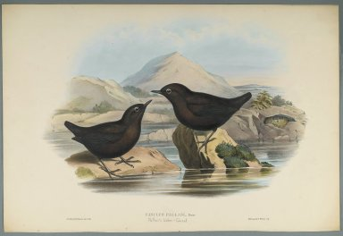 John Gould (British, 1804-1881). Cinclus Pallasi: Pallas' Water Ouzel. Lithograph on wove paper, Sheet: 21 7/8 x 14 1/2 in. (55.6 x 36.8 cm). Brooklyn Museum, Gift of the Estate of Emily Winthrop Miles, 64.98.163