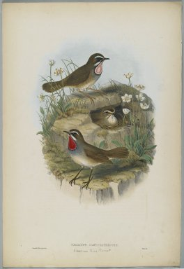 John Gould (British, 1804-1881). Calliope Camschatkensis. Lithograph on wove paper, Sheet: 21 7/8 x 14 1/2 in. (55.6 x 36.8 cm). Brooklyn Museum, Gift of the Estate of Emily Winthrop Miles, 64.98.164