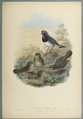 John Gould (British, 1804-1881). Calliope Pectoralis. Lithograph on wove paper, Sheet: 21 7/8 x 14 1/2 in. (55.6 x 36.8 cm). Brooklyn Museum, Gift of the Estate of Emily Winthrop Miles, 64.98.165