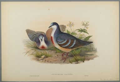 John Gould (British, 1804-1881). Philogoenas Cruenta. Lithograph on wove paper, Sheet: 21 7/8 x 14 1/2 in. (55.6 x 36.8 cm). Brooklyn Museum, Gift of the Estate of Emily Winthrop Miles, 64.98.166