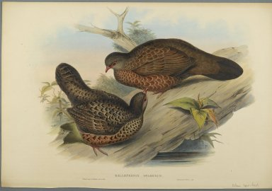 John Gould (British, 1804-1881). Galloperdix Spadiceus. Lithograph on wove paper, Sheet: 21 7/8 x 14 1/2 in. (55.6 x 36.8 cm). Brooklyn Museum, Gift of the Estate of Emily Winthrop Miles, 64.98.168