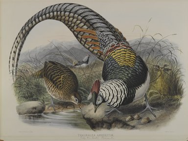 John Gould (British, 1804-1881). Thaumalea Amherstiae: Lady Amhert's Pheasant. Lithograph on wove paper, Sheet: 23 3/8 x 18 7/16 in. (59.4 x 46.8 cm). Brooklyn Museum, Gift of the Estate of Emily Winthrop Miles, 64.98.171