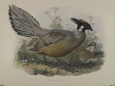 John Gould (British, 1804-1881). Pucrasia Darwini. Lithograph on wove paper, Sheet: 23 3/8 x 18 7/16 in. (59.4 x 46.8 cm). Brooklyn Museum, Gift of the Estate of Emily Winthrop Miles, 64.98.173