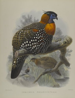 John Gould (British, 1804-1881). Ceriornis Melanocephala. Lithograph on wove paper, Sheet: 23 3/8 x 18 7/16 in. (59.4 x 46.8 cm). Brooklyn Museum, Gift of the Estate of Emily Winthrop Miles, 64.98.179