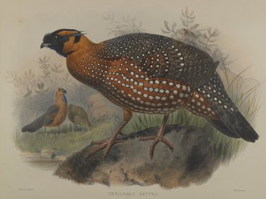John Gould (British, 1804-1881). Ceriornis Satyra. Lithograph on wove paper, Sheet: 23 3/8 x 18 7/16 in. (59.4 x 46.8 cm). Brooklyn Museum, Gift of the Estate of Emily Winthrop Miles, 64.98.182