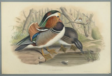 John Gould (British, 1804-1881). Aix Galericulata: Duck. Lithograph on wove paper, Sheet: 21 7/8 x 14 1/2 in. (55.6 x 36.8 cm). Brooklyn Museum, Gift of the Estate of Emily Winthrop Miles, 64.98.186