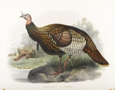 John Gould (British, 1804-1881). Meleagris Gallopavo: Wild Turkey. Lithograph on wove paper, 23 3/8 x 18 3/8 in. (59.4 x 46.7 cm). Brooklyn Museum, Gift of the Estate of Emily Winthrop Miles, 64.98.194