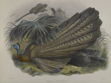 John Gould (British, 1804-1881). Argus Giganteus: Great Argus Pheasant. Lithograph on wove paper, 23 3/8 x 18 3/8 in. (59.4 x 46.7 cm). Brooklyn Museum, Gift of the Estate of Emily Winthrop Miles, 64.98.196