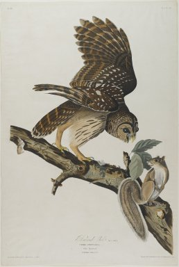 John J. Audubon (American, 1785-1851). Barred Owl, 1828. Aquatint, approx.: 27 x 40 in. (68.6 x 101.6 cm). Brooklyn Museum, Gift of the Estate of Emily Winthrop Miles, 64.98.19
