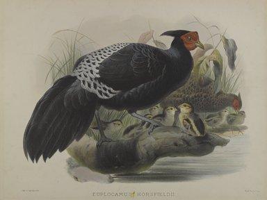 Daniel Giraud Elliott (American, 1835-1915). Euplocamus Horsfieldii. Lithograph on wove paper, 23 1/4 x 18 1/8 in. (59.1 x 46 cm). Brooklyn Museum, Gift of the Estate of Emily Winthrop Miles, 64.98.204