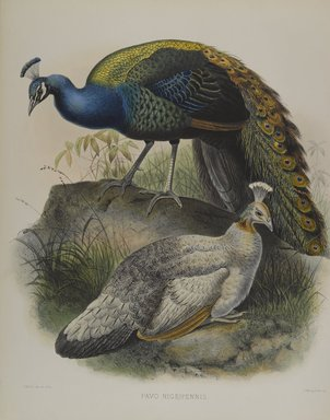 Daniel Giraud Elliott (American, 1835-1915). Pavo Nigripennis - Black Shouldered Pea Fowl. Lithograph in color on wove paper, 23 1/4 x 18 1/8 in. (59.1 x 46 cm). Brooklyn Museum, Gift of the Estate of Emily Winthrop Miles, 64.98.205