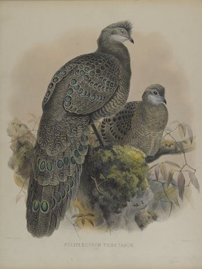 Daniel Giraud Elliott (American, 1835-1915). Polyplectron Tibetanum. Lithograph in color on wove paper, 23 1/4 x 18 1/8 in. (59.1 x 46 cm). Brooklyn Museum, Gift of the Estate of Emily Winthrop Miles, 64.98.208