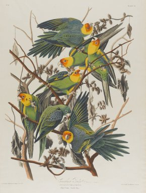 John J. Audubon (American, 1785-1851). Carolina Parrot, 1827-1838. Black-ink etching, aquatint and engraving toned by hand with opaque and transparent watercolors, Sheet: 38 1/2 x 25 3/4 in. (97.8 x 65.4 cm). Brooklyn Museum, Gift of the Estate of Emily Winthrop Miles, 64.98.20