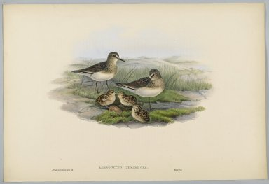 John Gould (British, 1804-1881). Phaethornis Nigricinctus: Belted Hermit. Lithograph in color on wove paper, 21 1/2 x 14 3/8 in. (54.6 x 36.5 cm). Brooklyn Museum, Gift of the Estate of Emily Winthrop Miles, 64.98.214