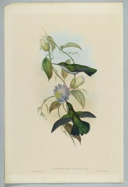 John Gould (British, 1804-1881). Campylopterus Obscurus: Sombre Sabre Wing. Lithograph in color on wove paper, 21 1/2 x 14 3/8 in. (54.6 x 36.5 cm). Brooklyn Museum, Gift of the Estate of Emily Winthrop Miles, 64.98.217