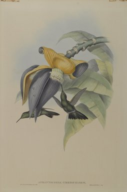 John Gould (British, 1804-1881). Aphantochroa Cirrhochloris: Sombre Humming Bird. Lithograph in color on wove paper, 21 1/2 x 14 3/8 in. (54.6 x 36.5 cm). Brooklyn Museum, Gift of the Estate of Emily Winthrop Miles, 64.98.219