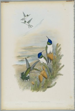 John Gould (British, 1804-1881). Oreotrochilus Chimborazo: Hill Star. Lithograph in color on wove paper, 21 1/2 x 14 3/8 in. (54.6 x 36.5 cm). Brooklyn Museum, Gift of the Estate of Emily Winthrop Miles, 64.98.221