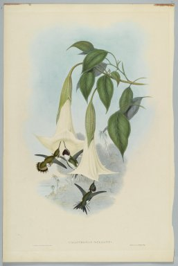 John Gould (British, 1804-1881). Calothorax Mulsanti: Mulsant's Wood Star. Lithograph in color on wove paper, 21 1/2 x 14 3/8 in. (54.6 x 36.5 cm). Brooklyn Museum, Gift of the Estate of Emily Winthrop Miles, 64.98.225