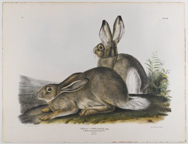 John James  Audubon (American, born Haiti, 1785-1851). Townsend's Rocky Mountain Hare, 1842. Lithograph, 21 x 27 in. (53.3 x 68.6 cm). Brooklyn Museum, Gift of the Estate of Emily Winthrop Miles, 64.98.22