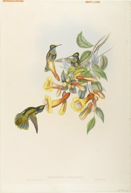 John Gould (British, 1804-1881). Petasophora Thalassina: Mexican Violet Ear. Lithograph in color on wove paper, 21 1/2 x 14 3/8 in. (54.6 x 36.5 cm). Brooklyn Museum, Gift of the Estate of Emily Winthrop Miles, 64.98.230