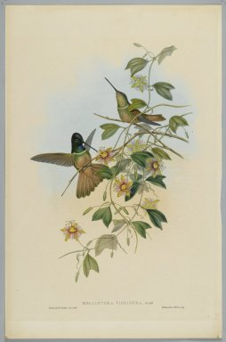John Gould (British, 1804-1881). Helianthea Violifera: Violet Throated Star Frontlet. Lithograph in color on wove paper, 21 1/2 x 14 3/8 in. (54.6 x 36.5 cm). Brooklyn Museum, Gift of the Estate of Emily Winthrop Miles, 64.98.232