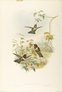 John Gould (British, 1804-1881). Heliangelus Spencei: Spenser's Sun Angel. Lithograph in color on wove paper, 21 1/2 x 14 3/8 in. (54.6 x 36.5 cm). Brooklyn Museum, Gift of the Estate of Emily Winthrop Miles, 64.98.234
