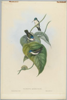 John Gould (British, 1804-1881). Cyanomyia Quadricolor: Four Color Crown. Lithograph in color on wove paper, 21 1/2 x 14 3/8 in. (54.6 x 36.5 cm). Brooklyn Museum, Gift of the Estate of Emily Winthrop Miles, 64.98.235