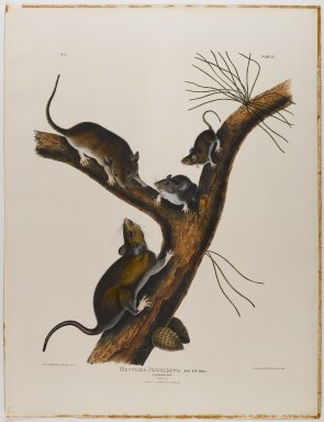 John J. Audubon (American, 1785-1851). Florida Rat. Lithograph, 27 x 21 in. (68.6 x 53.3 cm). Brooklyn Museum, Gift of the Estate of Emily Winthrop Miles, 64.98.23