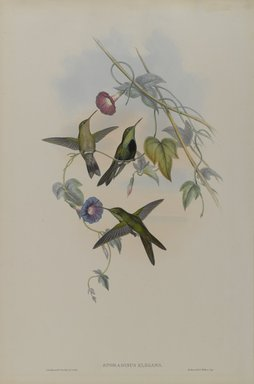 John Gould (British, 1804-1881). Sporadinus Elegans: St. Domingo Humming Bird. Lithograph on wove paper, 21 1/2 x 14 3/8 in. (54.6 x 36.5 cm). Brooklyn Museum, Gift of the Estate of Emily Winthrop Miles, 64.98.248