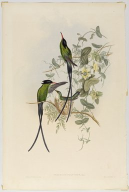 John Gould (British, 1804-1881). Trochilus Polytnus. Lithograph in color on wove paper, 21 1/2 x 14 3/8 in. (54.6 x 36.5 cm). Brooklyn Museum, Gift of the Estate of Emily Winthrop Miles, 64.98.259
