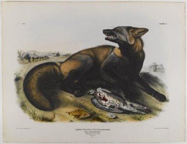John J. Audubon (American, 1785-1851). American Cross Fox. Lithograph, 21 x 27 in. (53.3 x 68.6 cm). Brooklyn Museum, Gift of the Estate of Emily Winthrop Miles, 64.98.25