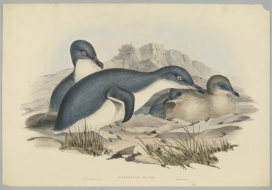 John Gould (British, 1804-1881). Spheniscus Minor. Lithograph in color on wove paper, 20 7/8 x 13 7/8 in. (53 x 35.2 cm). Brooklyn Museum, Gift of the Estate of Emily Winthrop Miles, 64.98.261