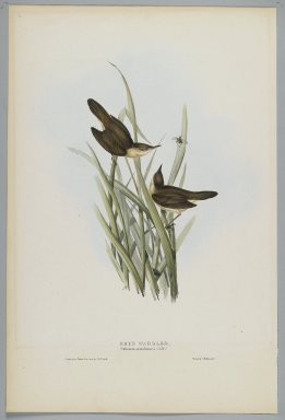 John Gould (British, 1804-1881). Salicaria Arundinacea: Reed Warbler. Lithograph in color on wove paper, 21 7/8 x 13 7/8 in. (55.6 x 35.2 cm). Brooklyn Museum, Gift of the Estate of Emily Winthrop Miles, 64.98.264