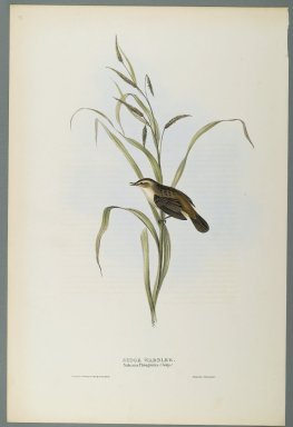 John Gould (British, 1804-1881). Salicaria Phragmatis: Sedge Warbler. Lithograph in color on wove paper, 20 7/8 x 13 7/8 in. (53 x 35.2 cm). Brooklyn Museum, Gift of the Estate of Emily Winthrop Miles, 64.98.265