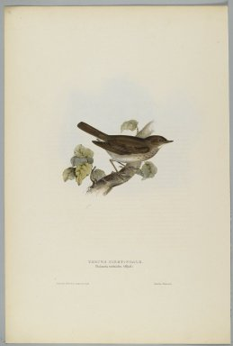 John Gould (British, 1804-1881). Philomela Turdoides: Thrush Nightengale. Lithograph in color on wove paper, 20 7/8 x 13 7/8 in. (53 x 35.2 cm). Brooklyn Museum, Gift of the Estate of Emily Winthrop Miles, 64.98.266