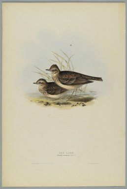 John Gould (British, 1804-1881). Alanda Aruensis: Sky Lark. Lithograph in color on wove paper, 20 7/8 x 13 7/8 in. (53 x 35.2 cm). Brooklyn Museum, Gift of the Estate of Emily Winthrop Miles, 64.98.267