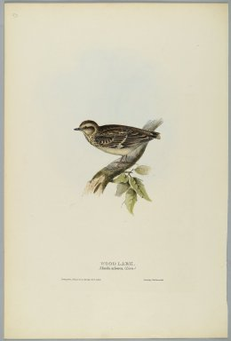 John Gould (British, 1804-1881). Alunda Arborea: Wood Lark. Lithograph in color on wove paper, 20 7/8 x 13 7/8 in. (53 x 35.2 cm). Brooklyn Museum, Gift of the Estate of Emily Winthrop Miles, 64.98.268
