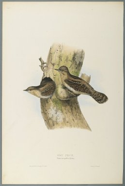 John Gould (British, 1804-1881). Yunx Torquilla: Wry Neck. Lithograph in color on wove paper, 20 7/8 x 13 7/8 in. (53 x 35.2 cm). Brooklyn Museum, Gift of the Estate of Emily Winthrop Miles, 64.98.270