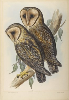 John Gould (British, 1804-1881). Strix Personata. Lithograph in color on wove paper, 21 5/8 x 14 11/16 in. (54.9 x 37.3 cm). Brooklyn Museum, Gift of the Estate of Emily Winthrop Miles, 64.98.272
