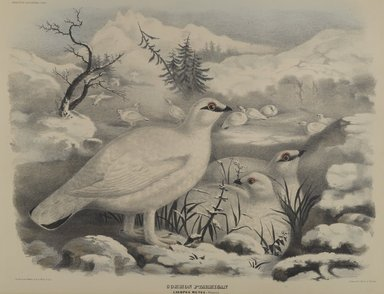 John Gould (British, 1804-1881). Common Ptarmigan. Lithograph on wove paper, 23 1/8 x 17 7/8 in. (58.7 x 45.4 cm). Brooklyn Museum, Gift of the Estate of Emily Winthrop Miles, 64.98.277