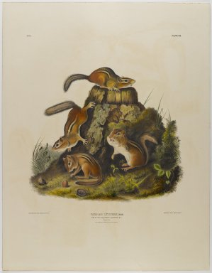 John J. Audubon (American, 1785-1851). Chipping Squirrel Hackee. Lithograph, 27 x 21 in. (68.6 x 53.3 cm). Brooklyn Museum, Gift of the Estate of Emily Winthrop Miles, 64.98.27